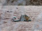 Leopardo (3) El gran gato manchado