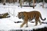 A la caza del tigre ruso