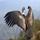 Animales (40) ¡Vuela cóndor, vuela!