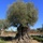 Extinción (32) El rapto del olivo milenario