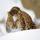 Leopardo Amur, al borde de la desaparición