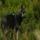 Lobo (10) El lamento del lobo