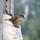 Gorriones (4) Milagros con plumas