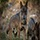 Lobos (25) Lobos y pastores: nadie sobra en tierra de todos